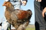 Im Herzen ein Hahn