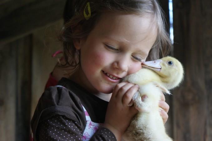 Ente Flugente Entenbraten kleine  Flugente Flugenten Flugenten, Barberie-Ente, Warzenente  Moschusente  Stummente 01