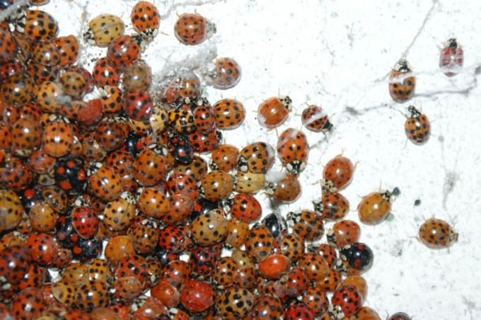 marienkaefer winterschlaf viele schwarz schwarzer04