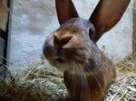 Kaninchendamen