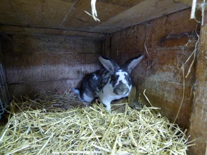 kaninchen paarung rammler bock