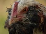 Hochgeistiges über Hühnerställe