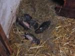 Kaninchenpapa für ein paar Stunden