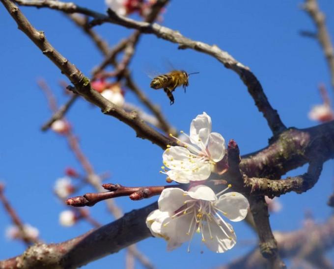 aprikose biene bluete 3
