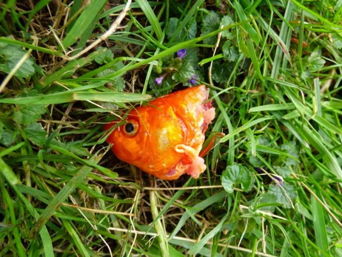 Katze Goldfisch Kater 01