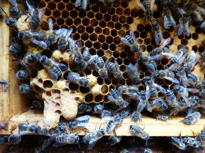 weisellos bienen larven verdeckelte brut offene brut 01