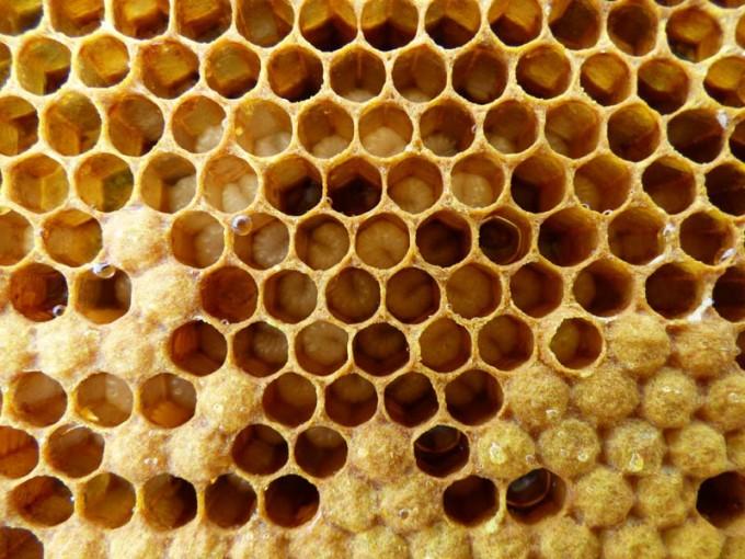 weisellos bienen larven verdeckelte brut offene brut 04