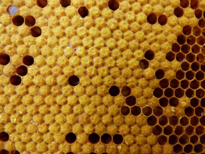 weisellos bienen larven verdeckelte brut offene brut 05