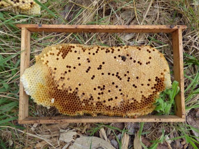 wildbau bienen waben honig ohne schleuder 04