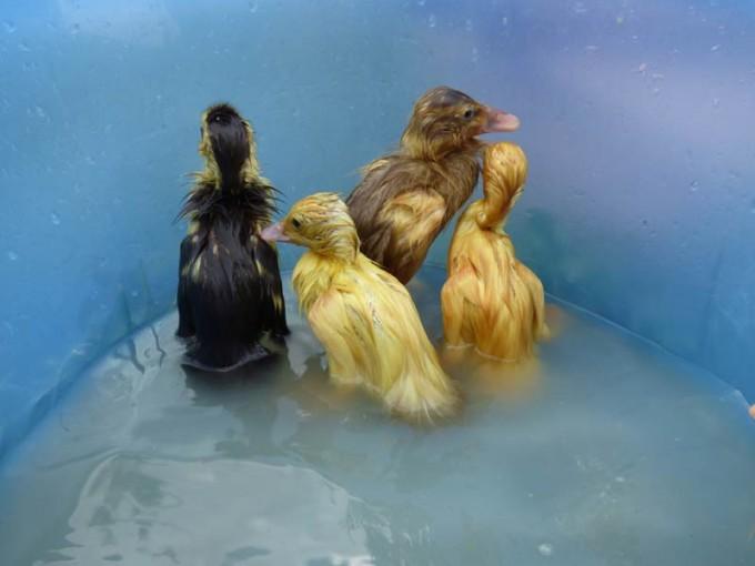 kleine enten baden 02