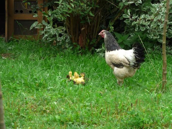 huhn und entenkueken zusammen Glucke Ente 2
