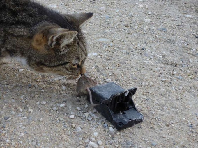 kater maus mausefalle powercat
