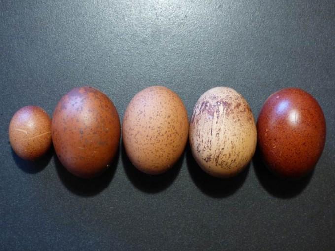 maran eier variationen 04