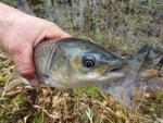 Satzfisch