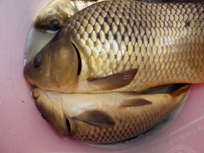 satzfisch giebel wels schleie karpfen rotfeder hecht 06