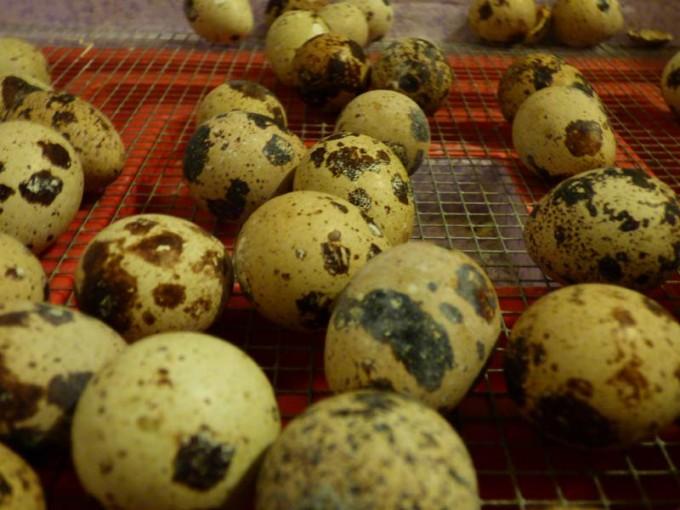 wachteln eier selber brueten kleine wachtel 02