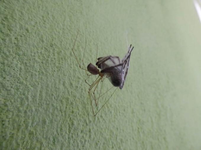 Zitterspinne vs andere Spinne  02