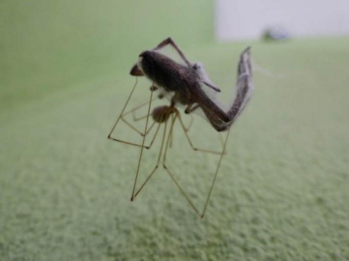 Zitterspinne vs andere Spinne  04