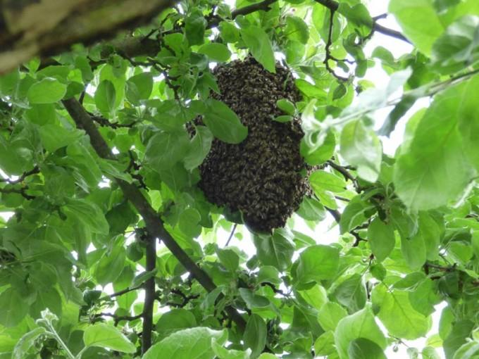 bienenschwarm apfelbaum schwarmkiste schwarm fangen 02