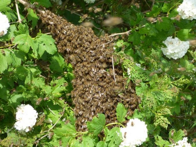 schwarm bienen schneeballbaum fangen einschlagen   02