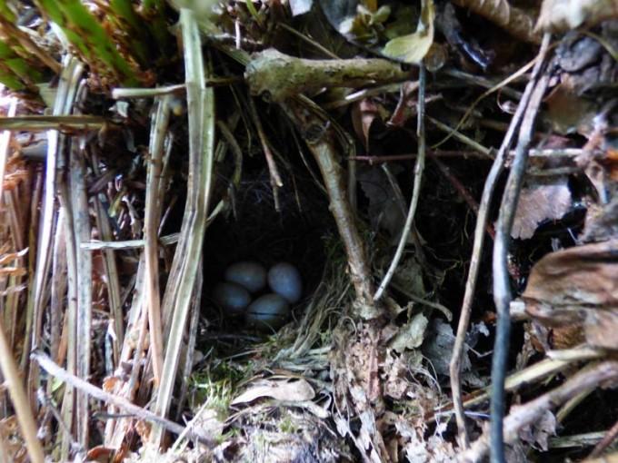 zaunkoenig nest 02