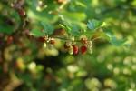 Die Maulbeere