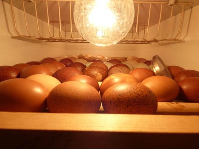 motorbrueter luftfeuchtigkeit eier wenden  brueten 02