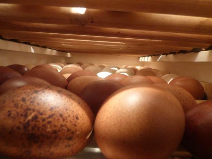 motorbrueter luftfeuchtigkeit eier wenden  brueten 03