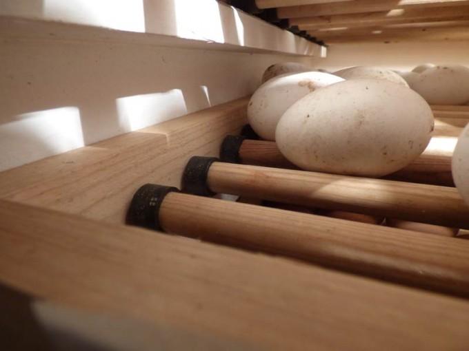 motorbrueter luftfeuchtigkeit eier wenden  brueten 06