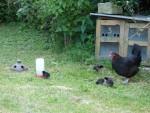 Eine neue, kleine Hühnerfamilie