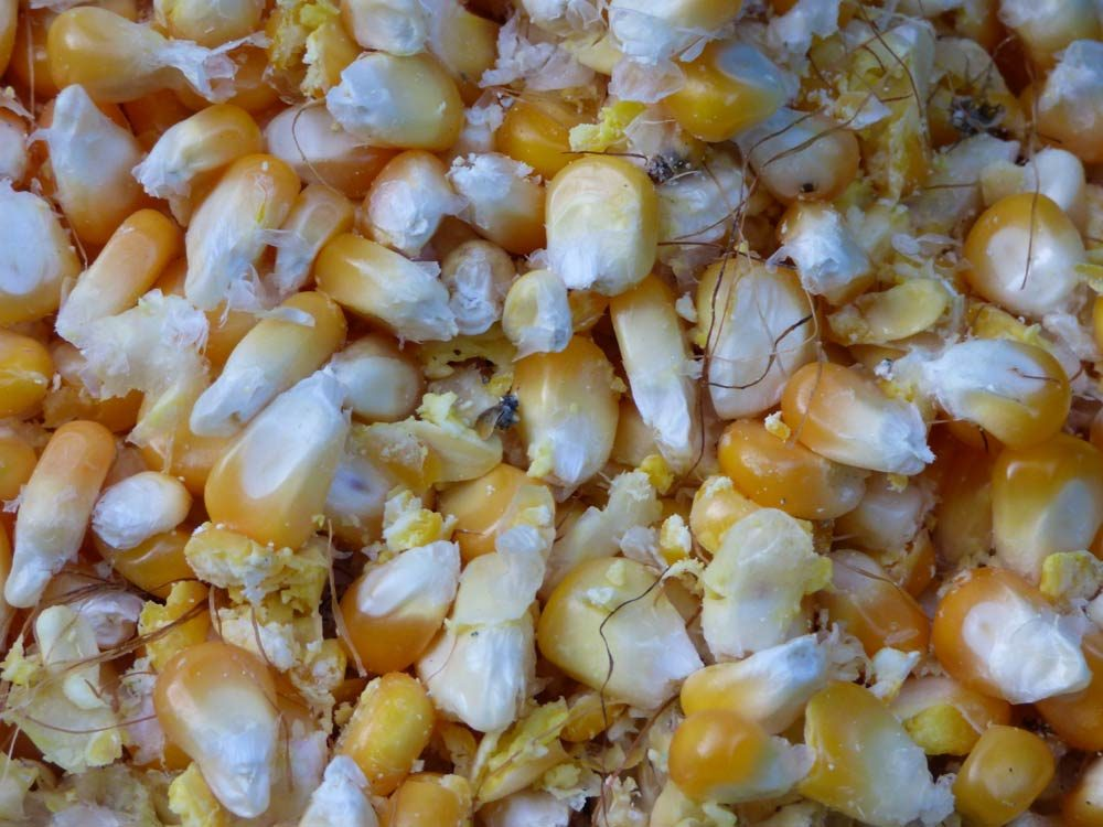 maisrebelmaschine-mais-popcorn-selber-machen-mais-maiskolben-03