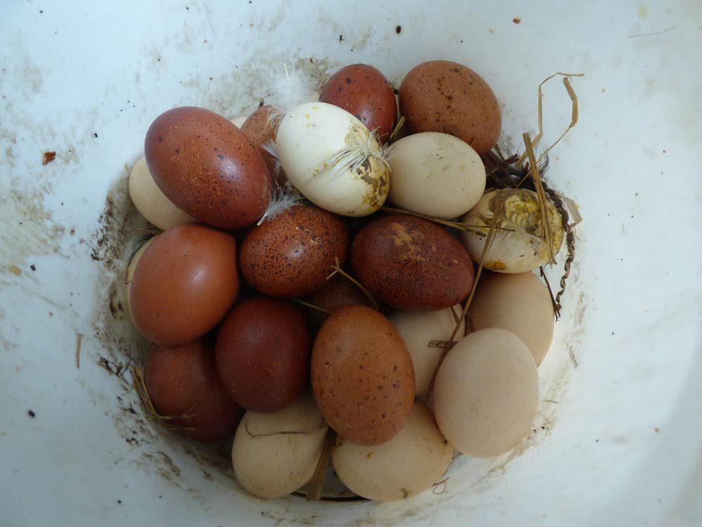 naturbrut-eier-stall-glucke-wissenswert