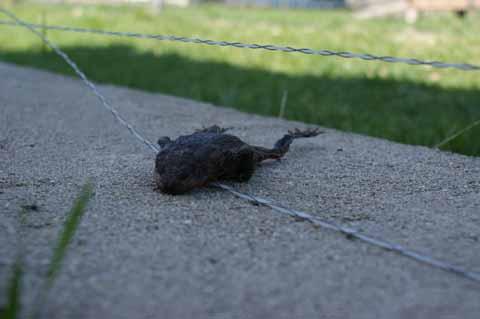 Frosch im Elektrozaun verstorben