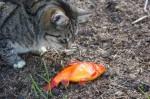 Goldfisch für den Kater