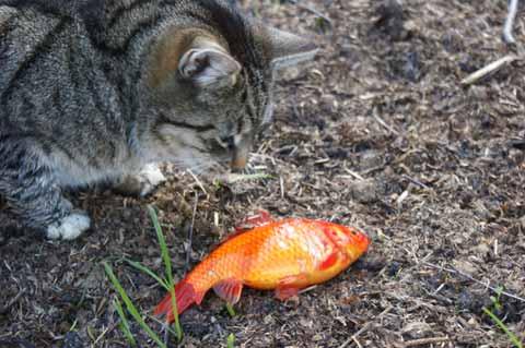 Goldfisch Kater Katze